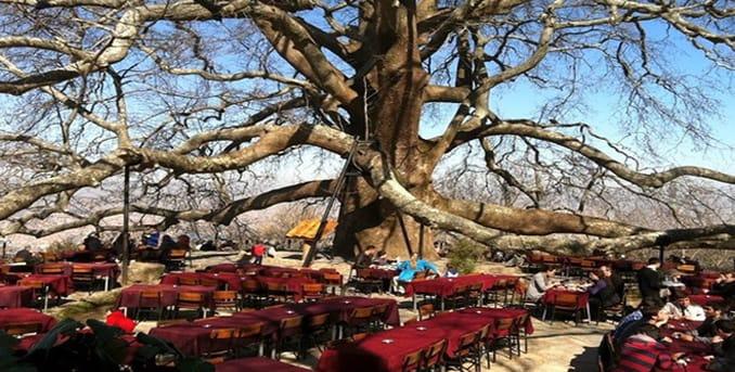 The Perennial Tree in Bursa
